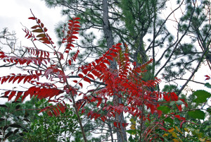Winged sumac Dec.